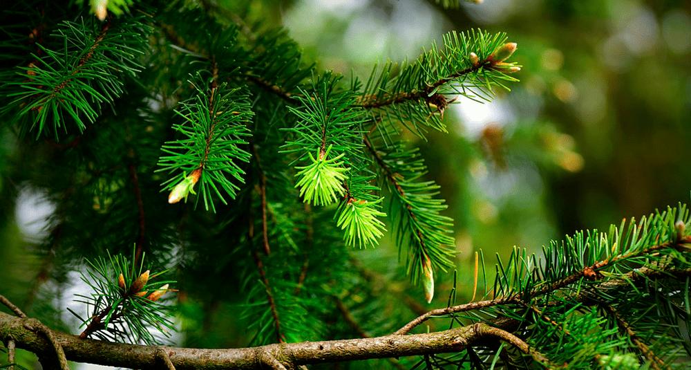 alea-quiz-les-coniferes