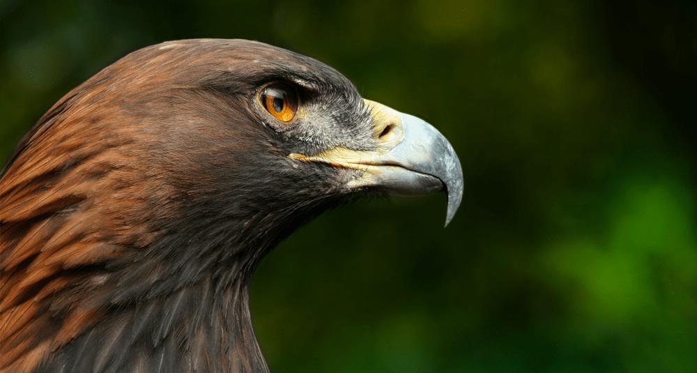 alea-quiz-a-quelle-famille-d-oiseaux-l-aigle-royal-appartient-il