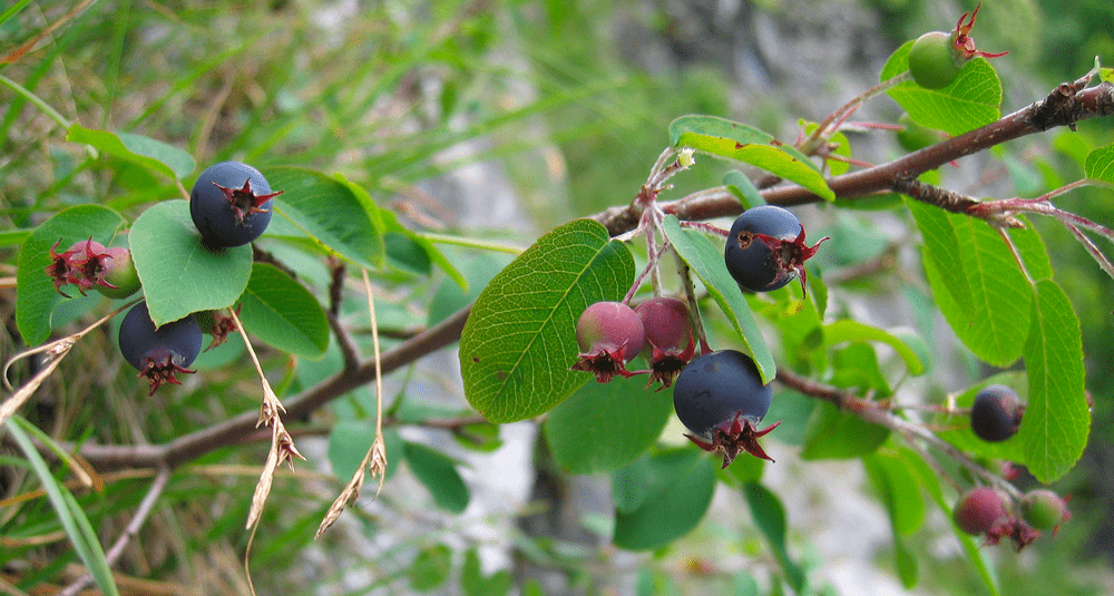 alea-quiz-dans-l-europe-medievale-quel-arbuste-etait-surnomme-l-arbre-aux-oiseaux