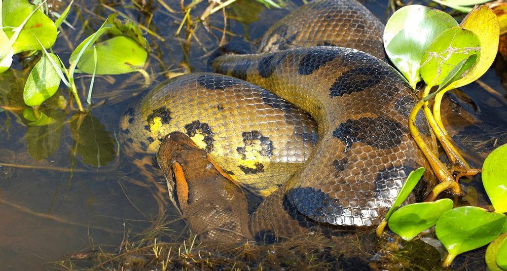 alea-quiz-les-anacondas-sont-ils-des-serpents-venimeux