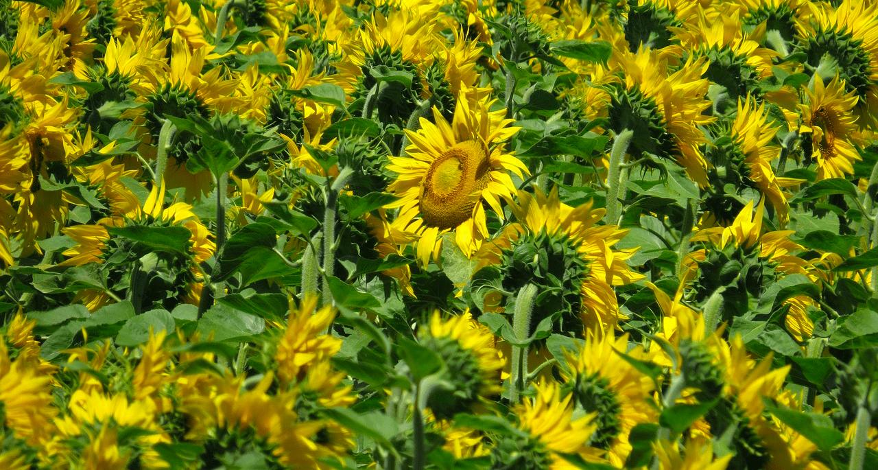 alea-quiz-pour-quelle-production-les-plantes-oleagineuses-sont-elles-specifiquement-cultivees