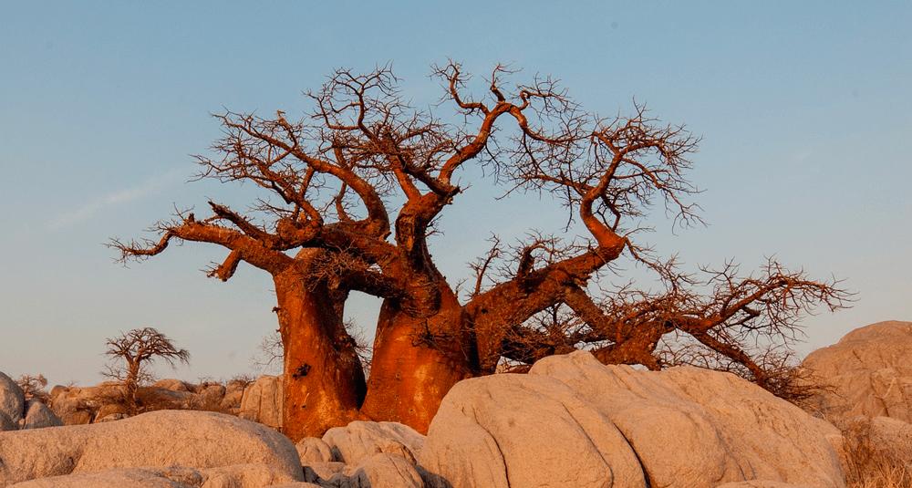 alea-quiz-dans-quel-biome-africain-peut-on-trouver-des-baobabs