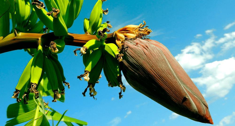 alea-quiz-les-bananiers-sont-ils-des-arbres