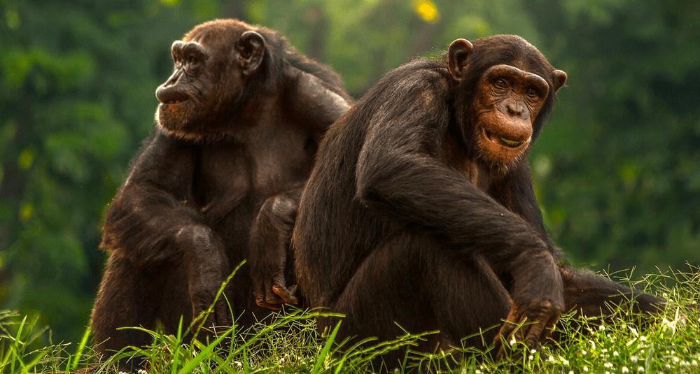 alea-quiz-quel-primate-proche-du-chimpanze-est-endemique-de-la-republique-democratique-du-congo