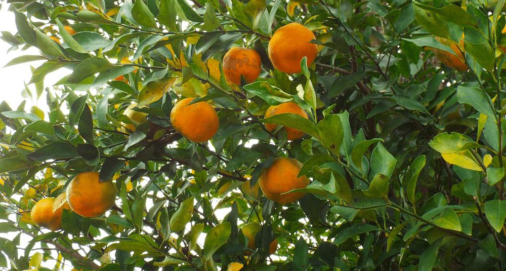 alea-quiz-dans-quelle-province-italienne-la-bergamote-est-elle-principalement-cultivee