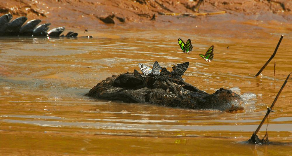alea-quiz-quel-est-le-plus-grand-des-crocodiliens-americains
