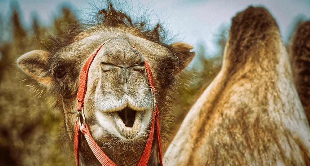 combien-de-bosses-a-un-chameau