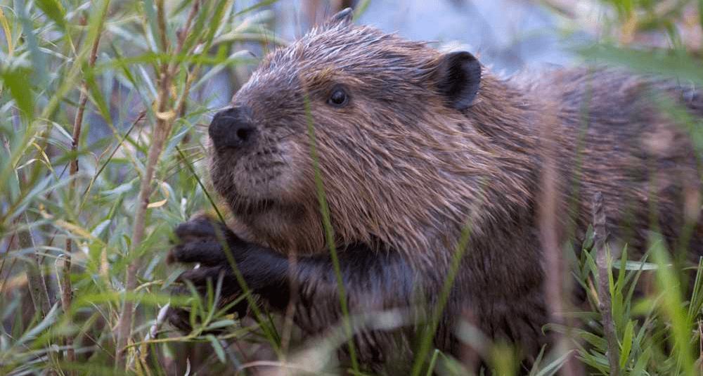 alea-quiz-les-castors-sont-ils-herbivores-ou-carnivores