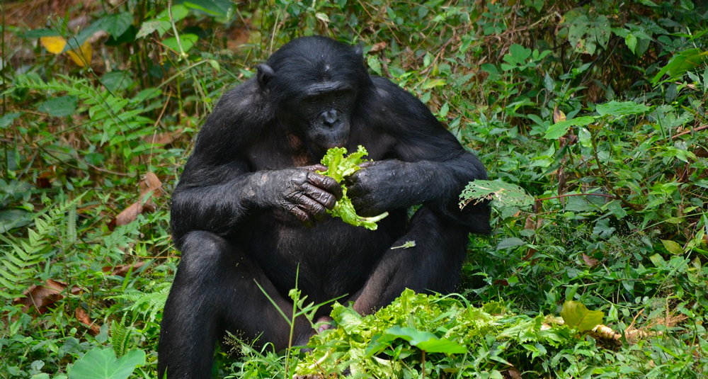 sous-quel-nom-le-chimpanze-nain-est-il-mieux-connu